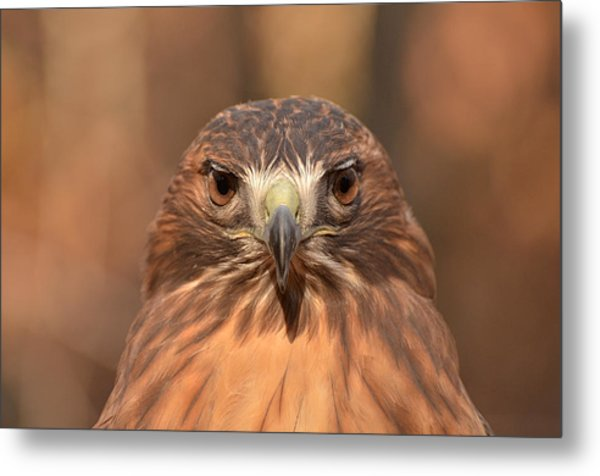 Red-tailed Hawk Stare Metal Print