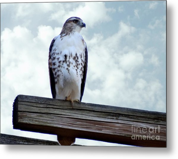Red Tailed Hawk Waiting Metal Print
