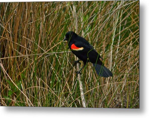 Red Wing Blackbird 4 Metal Print