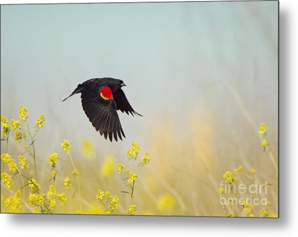 Red Winged Blackbird In Flight Metal Print