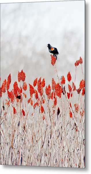 Red Winged Blackbird On Sumac Metal Print
