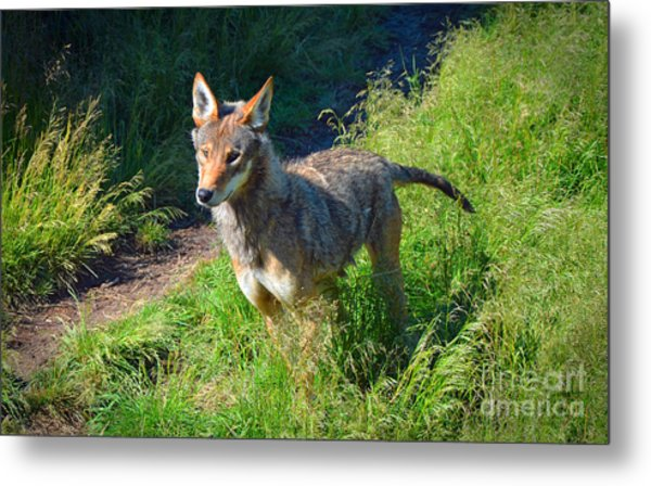 Red Wolf Pup Metal Print