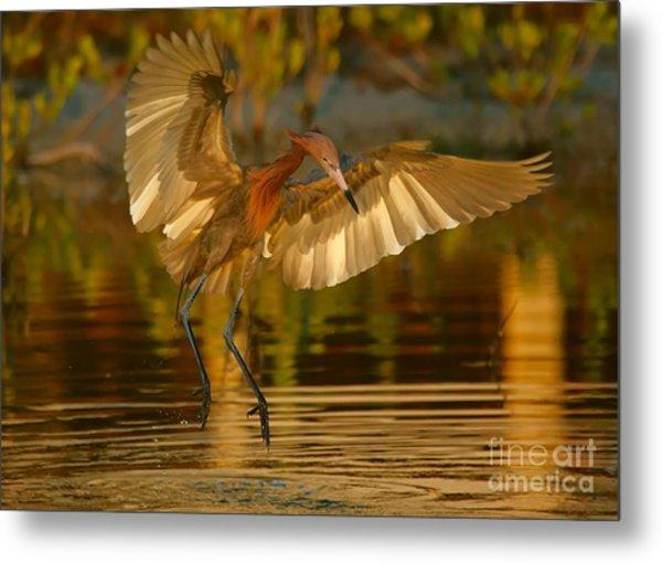Reddish Egret In Golden Sunlight Metal Print