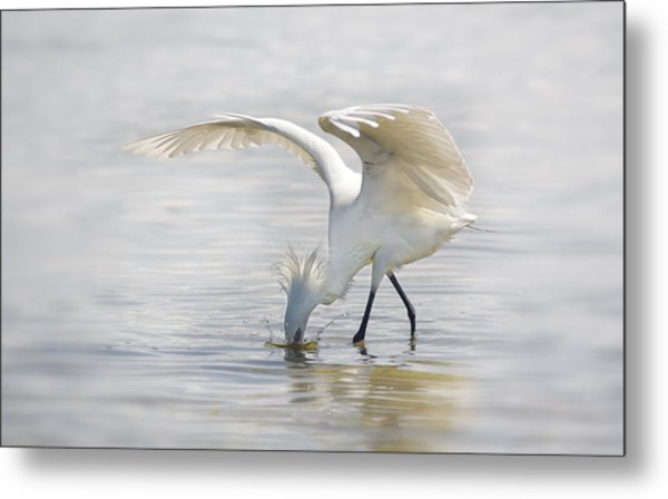 Reddish Egret White Morph Fishing. Metal Print