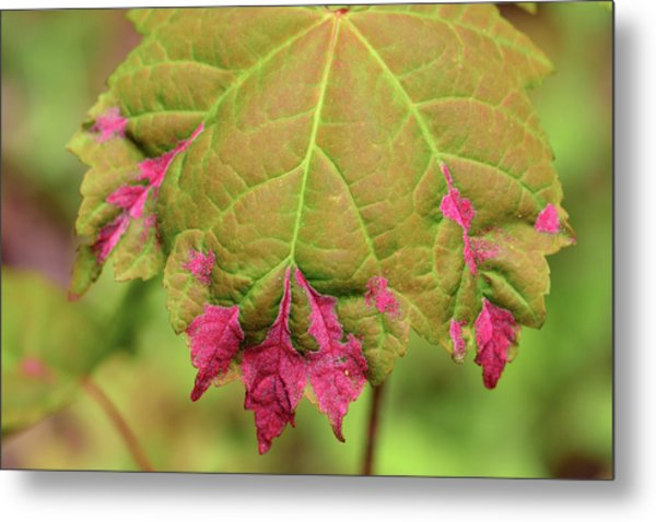 Reddish Pink Erineum Galls, Made Metal Print