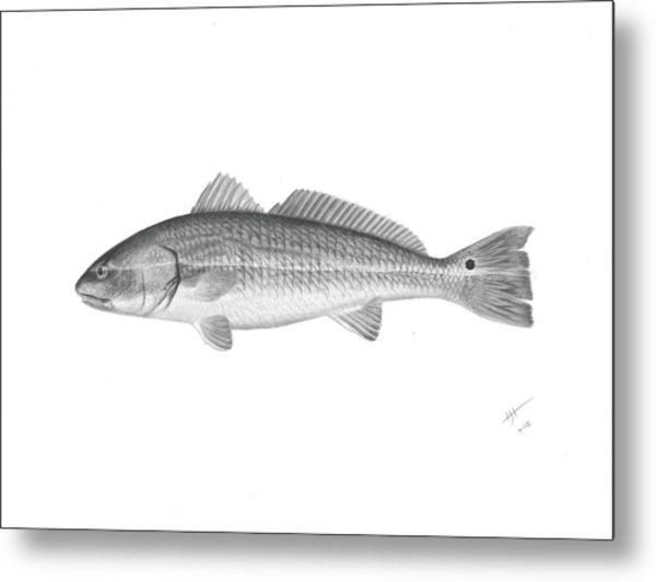 Redfish - Scientific Metal Print