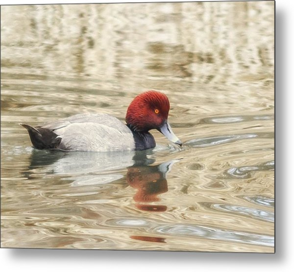 Redhead Duck In Golden Pond Metal Print