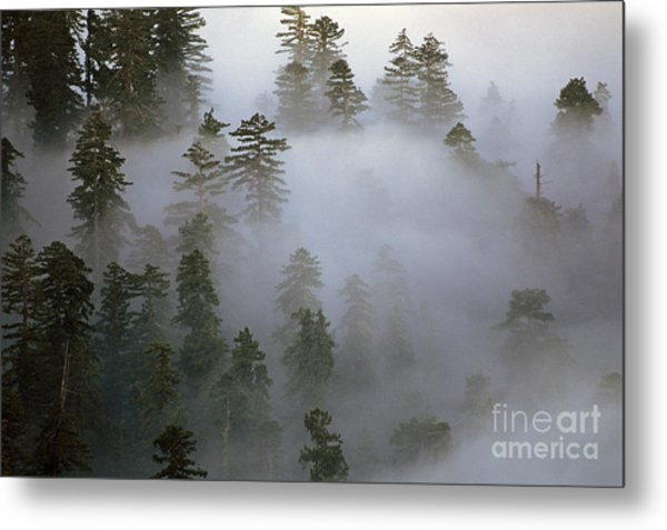 Redwood Creek Overlook With Giant Redwoods  Metal Print