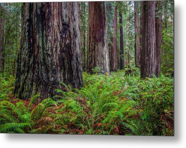 Redwood Sentinels Metal Print by Mike  Walker