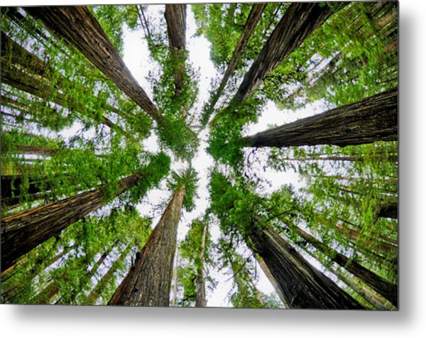 Redwood Skies Metal Print