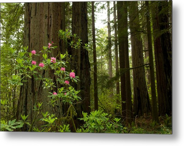 Redwood Trees And Rhododendron Flowers Metal Print