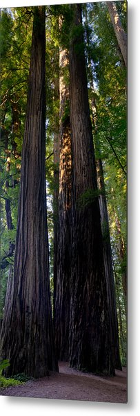 Redwoods Vertical Panorama Metal Print