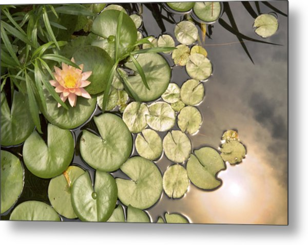 Reflected Light Upon Flowering Water Lilies Metal Print