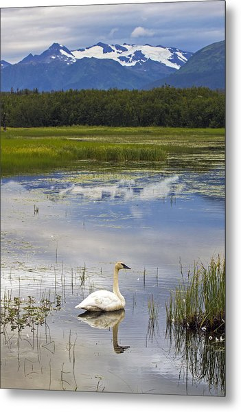 Reflecting Swan Metal Print