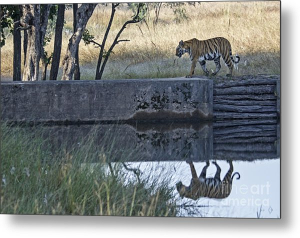 Reflection Of A Tiger Metal Print
