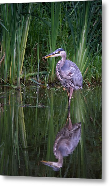Reflections - Great Blue Heron  Metal Print by Doug Underwood