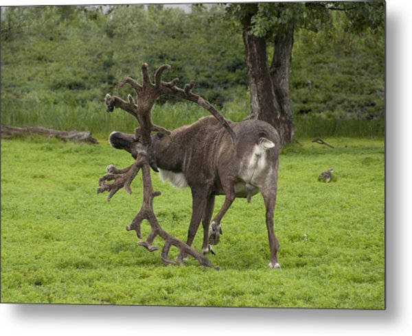 Reindeer With A Big Rack Metal Print