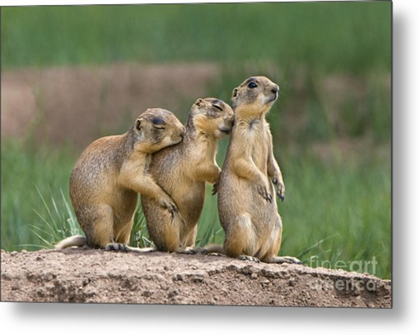 Metal Print featuring the photograph Relaxing Utah Prairie Dogs Cynomys Parvidens Wild Utah by Dave Welling