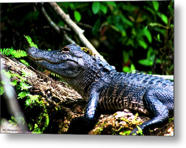 Resting Alligator  Metal Print