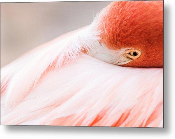Resting Flamingo Metal Print