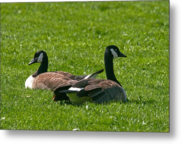 Resting Geese Metal Print by John Holloway
