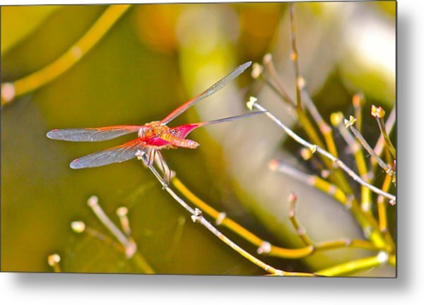 Resting Red Dragonfly Metal Print