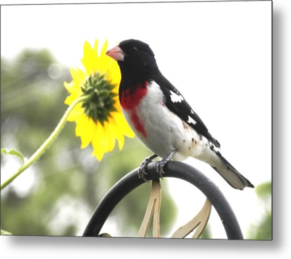 Resting Rose Breasted Grosbeak Metal Print