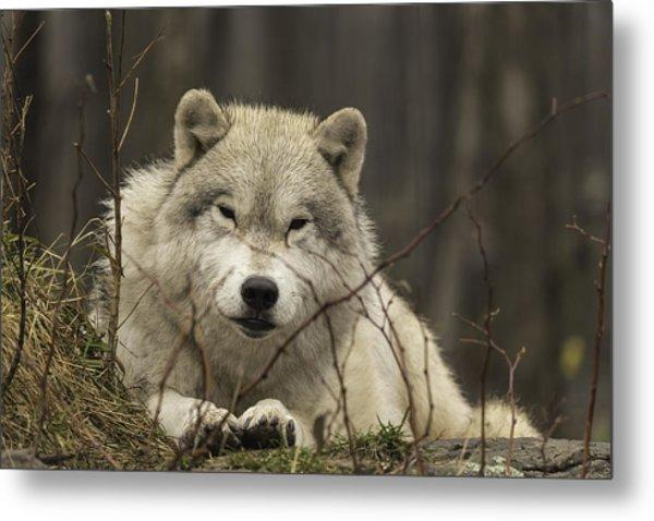 Resting Wolf Metal Print