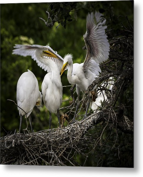 Restless Teenage Egrets Metal Print