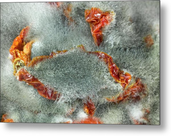 Rhizopus Stolonifer On Sundried Tomatoes Metal Print by Dr Jeremy Burgess