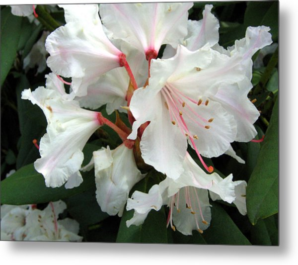 Rhododendron 1 Metal Print