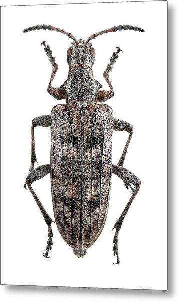 Ribbed Pine Borer Beetle Metal Print by F. Martinez Clavel