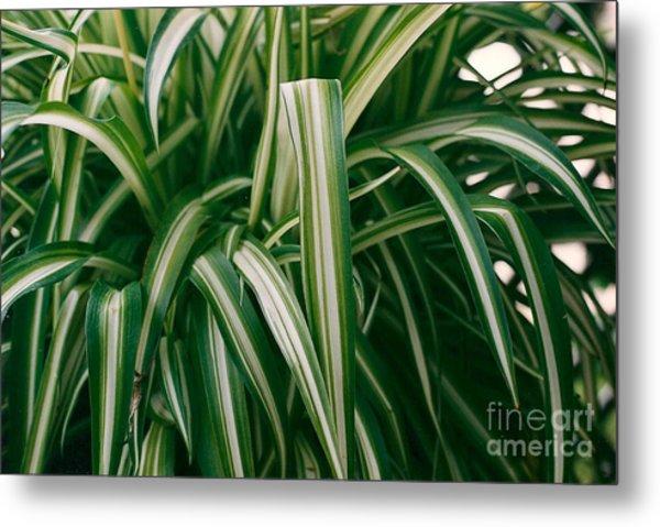 Ribbon Grass Metal Print
