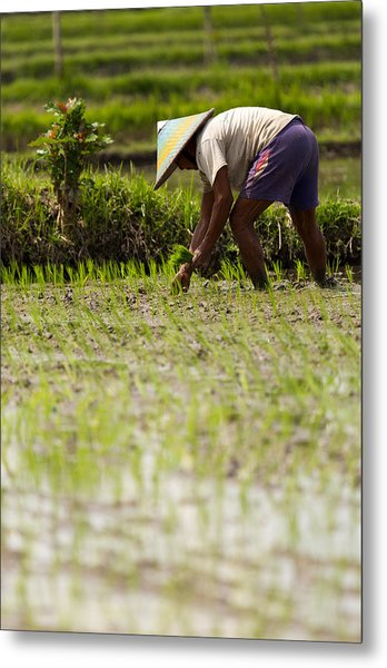 Rice Farmer - Bali Metal Print