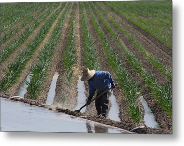 Rice Field In California Metal Print