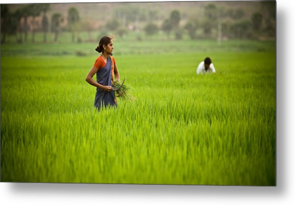 Rice Harvest Metal Print