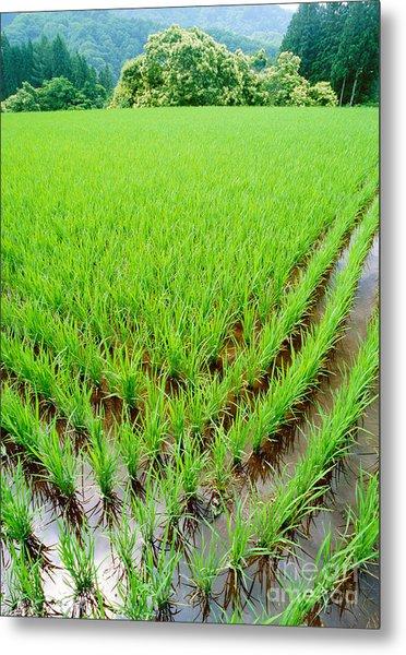 Rice Paddy Metal Print