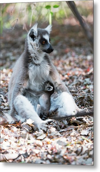 Ring-tailed Lemur And Baby Metal Print