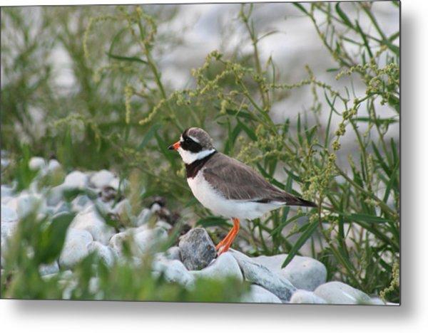 Ringed Plover On Rocky Shore Metal Print