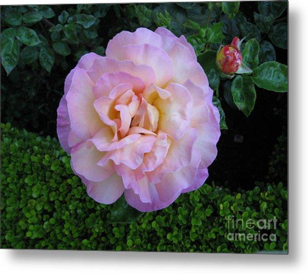 Ritzy Pink Rose Metal Print