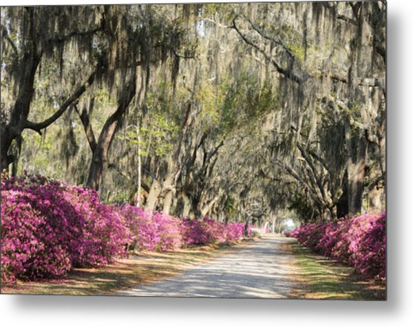 Road With Azaleas And Live Oaks Metal Print