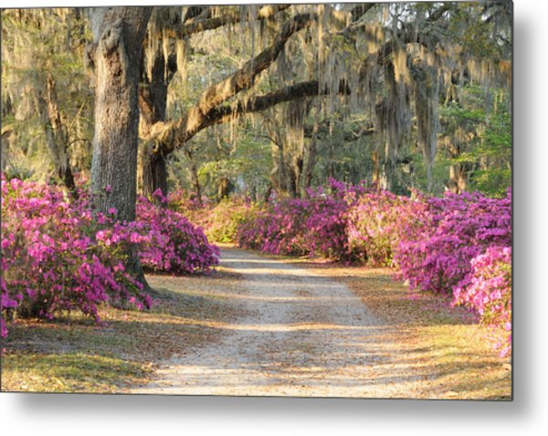 Road With Live Oaks And Azaleas Metal Print