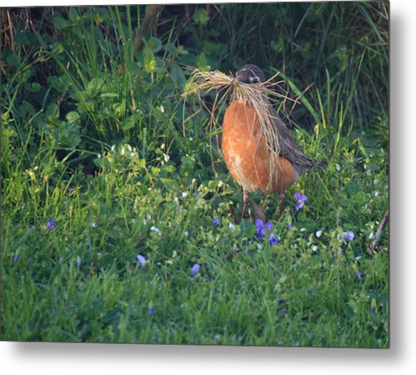 Robin Gathering For Nest Metal Print