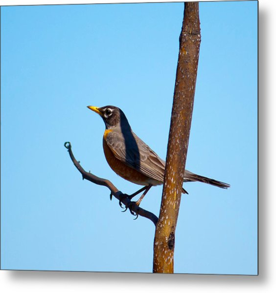 Robin Taking A Break Metal Print