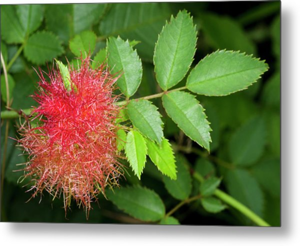 Robin's Pincushion Gall Or Bedeguar Gall Metal Print by Nigel Downer