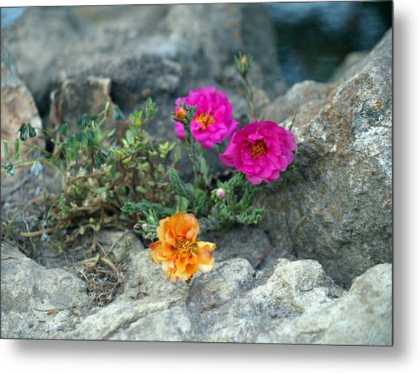 Rock Rose Metal Print by Corina Bishop