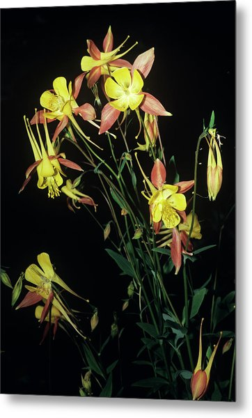 Rocky Mountain Columbine Flowers Metal Print by Brian Gadsby/science Photo Library