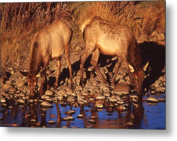 Rocky Mountain Elk Metal Print by T C Brown