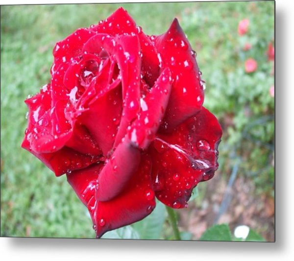 Rosa Rossa Metal Print by Michel Croteau