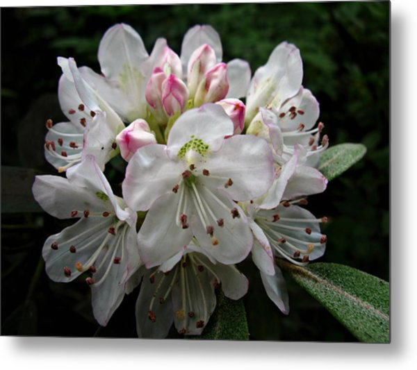 Rose Bay Rhododendron Metal Print